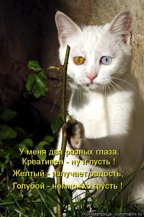 Котоматрица: У меня два разных глаза. Креативен - ну и пусть ! Желтый - излучает радость, Голубой - немножко грусть !