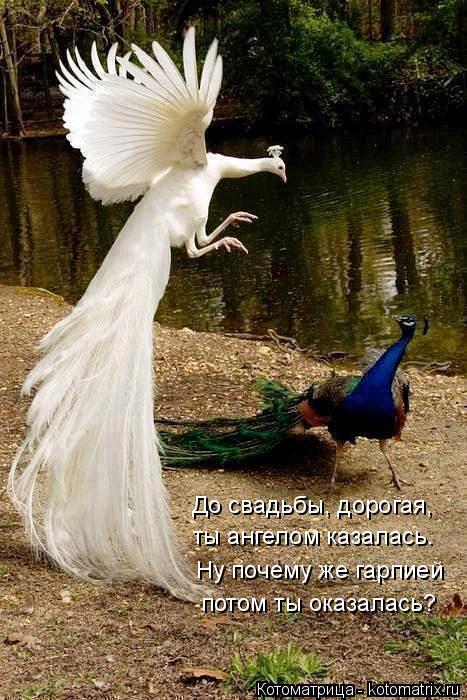 Котоматрица: До свадьбы, дорогая,  ты ангелом казалась.  Ну почему же гарпией  потом ты оказалась?