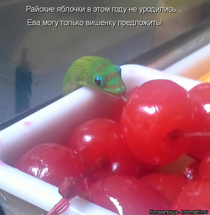 Котоматрица: Райские яблочки в этом году не уродились... Ева,могу только вишенку предложить!