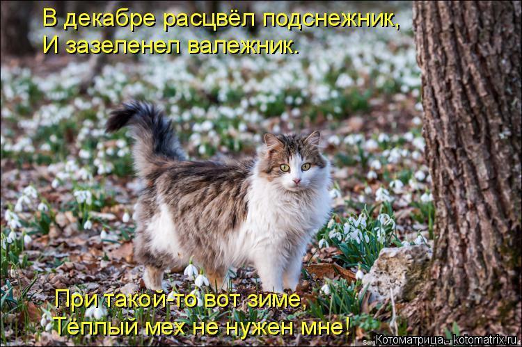 Котоматрица: В декабре расцвёл подснежник, И зазеленел валежник. При такой-то вот зиме, Тёплый мех не нужен мне!