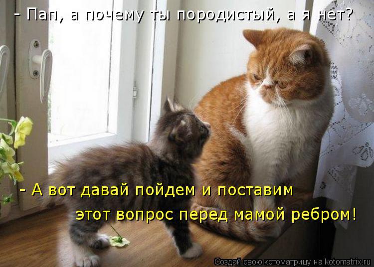 Котоматрица: - Пап, а почему ты породистый, а я нет? - А вот давай пойдем и поставим  этот вопрос перед мамой ребром!