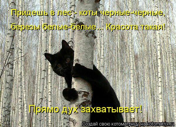 Котоматрица: Прямо дух захватывает! Придешь в лес - коты черные-черные, березы белые-белые... Красота такая!