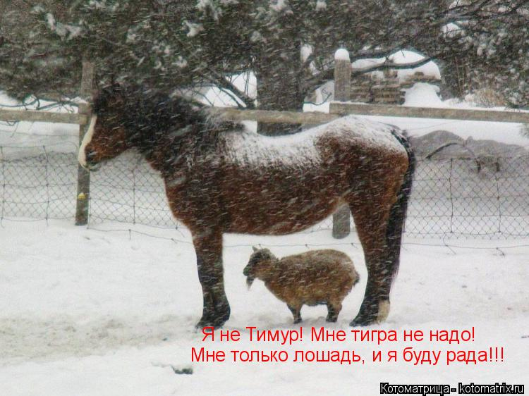 Котоматрица: Мне только лошадь, и я буду рада!!! Я не Тимур! Мне тигра не надо!