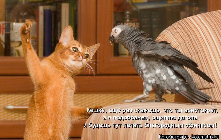 Котоматрица: Кешка, ещё раз скажешь, что ты аристократ,  а я подобранец, ощиплю догола, и будешь тут летать благородным сфинксом!