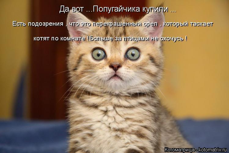 Котоматрица: Да вот ...Попугайчика купили ... Есть подозрения , что это перекрашенный орел , который таскает котят по комнате !Больше за птицами не охочусь !