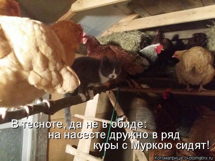 Котоматрица: куры с Муркою сидят! на насесте дружно в ряд В тесноте, да не в обиде: