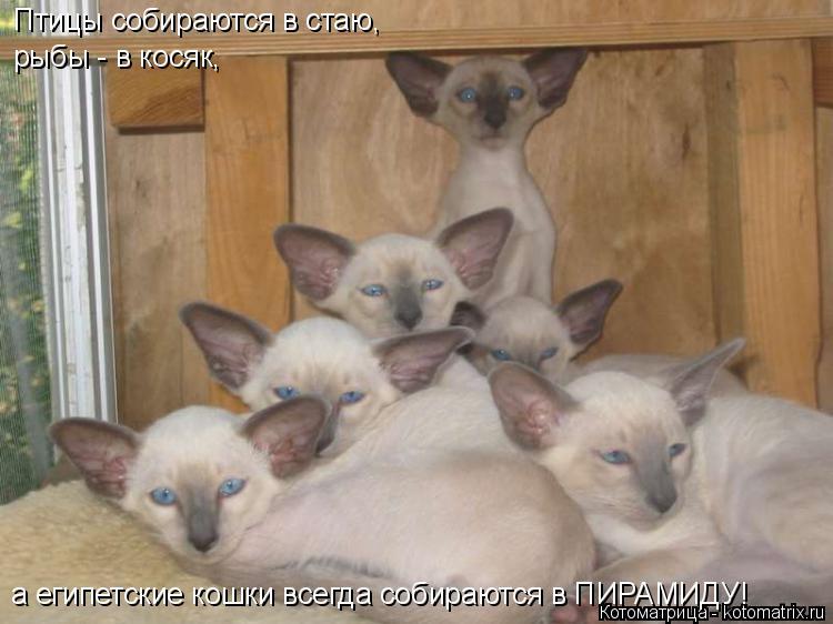 Котоматрица: а египетские кошки всегда собираются в ПИРАМИДУ! Птицы собираются в стаю, рыбы - в косяк,