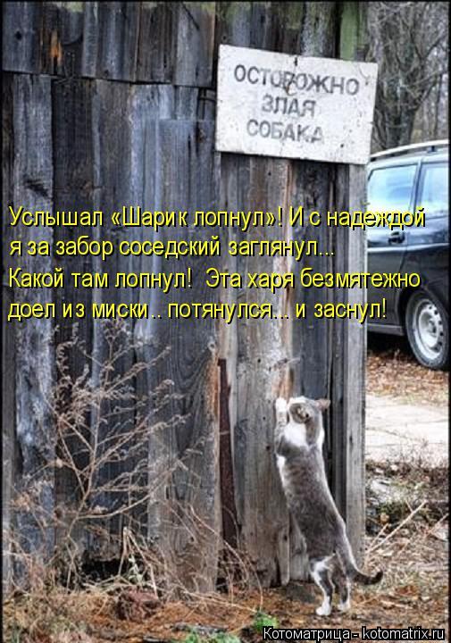 Котоматрица: Услышал «Шарик лопнул»! И с надеждой  я за забор соседский заглянул... Какой там лопнул!  Эта харя безмятежно доел из миски.. потянулся... и зас