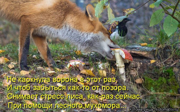 Котоматрица: Не каркнула ворона в этот раз, Лиса чтоб И чтоб забыться как-то от позора. Снимает стресс лиса, как-раз сейчас.  При помощи лесного мухомора...