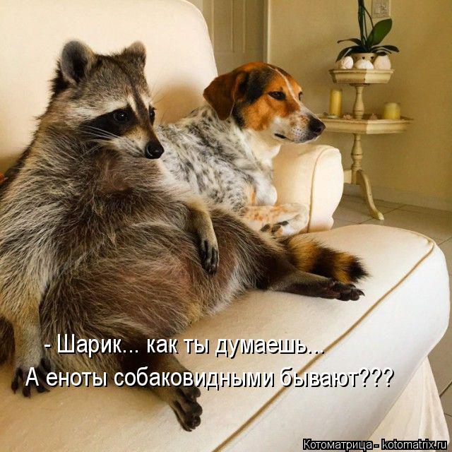 Котоматрица: - Шарик... как ты думаешь... А еноты собаковидными бывают???