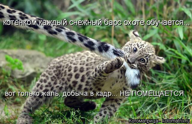 Котоматрица: котёнком каждый снежный барс охоте обучается... котёнком каждый снежный барс охоте обучается... вот только жаль, добыча в кадр... НЕ ПОМЕЩАЕТС