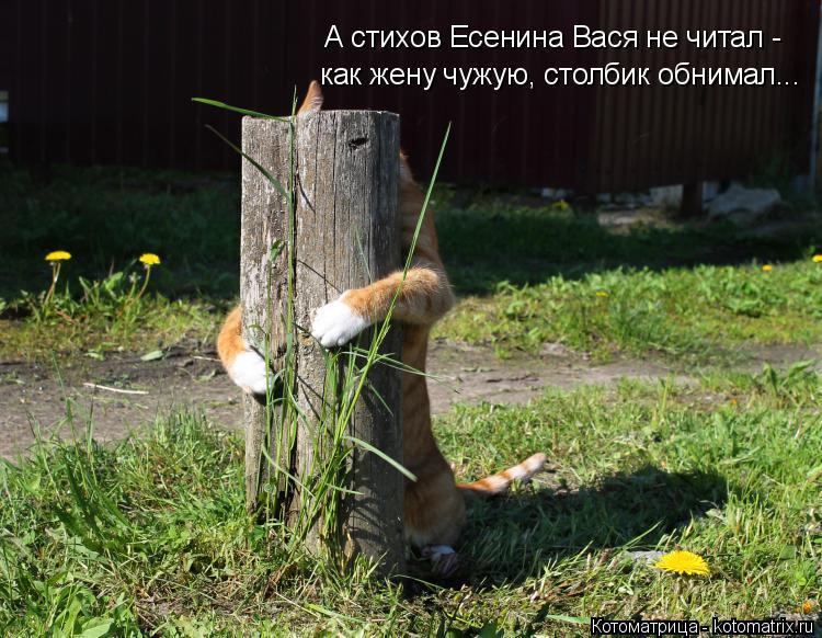 Котоматрица: А стихов Есенина Вася не читал - как жену чужую, столбик обнимал...