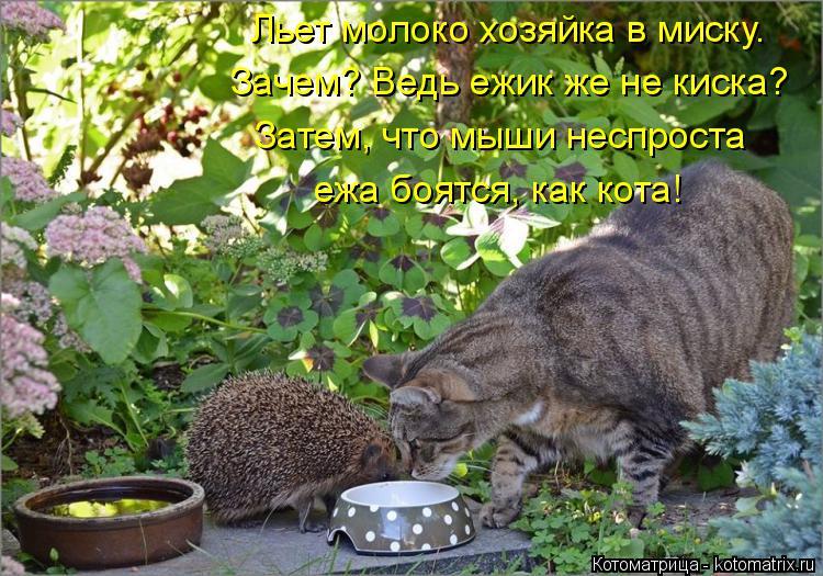 Котоматрица: Льет молоко хозяйка в миску.  Затем, что мыши неспроста Зачем? Ведь ежик же не киска? ежа боятся, как кота!