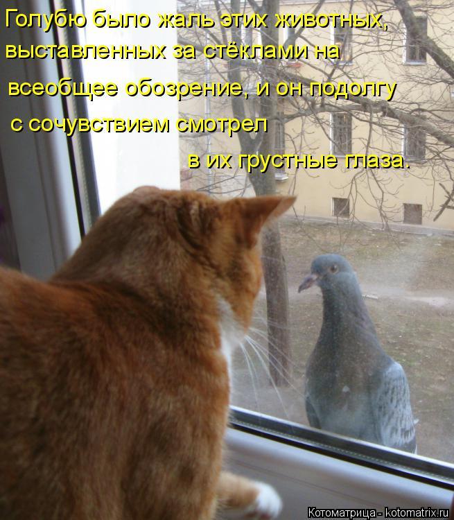 Котоматрица: Голубю было жаль этих животных, выставленных за стёклами на  всеобщее обозрение, и он подолгу с сочувствием смотрел в их грустные глаза.