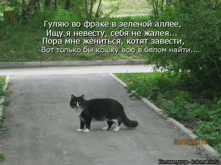 Котоматрица: Гуляю во фраке в зеленой аллее, Ищу я невесту, себя не жалея... Пора мне жениться, котят завести, Вот только бы кошку всю в белом найти...
