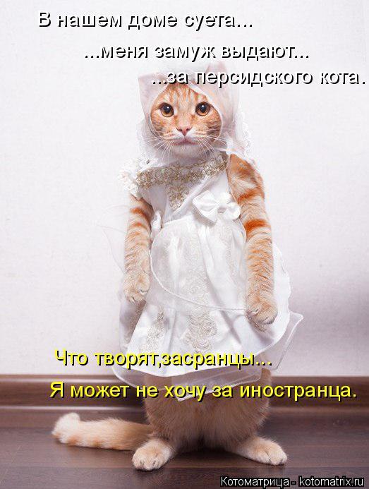 Котоматрица: В нашем доме суета... ...меня замуж выдают... ...за персидского кота. Что творят,засранцы... Я может не хочу за иностранца.