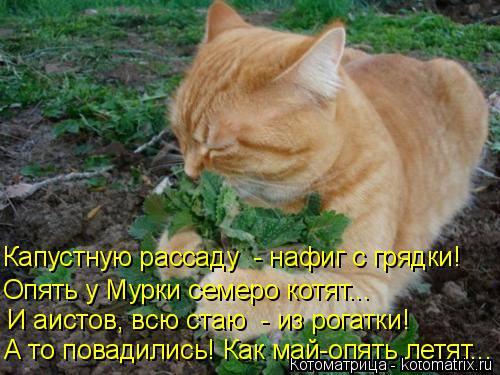 Котоматрица: И аистов, всю стаю  - из рогатки! А то повадились! Как май-опять летят... Опять у Мурки семеро котят...  Капустную рассаду  - нафиг с грядки!