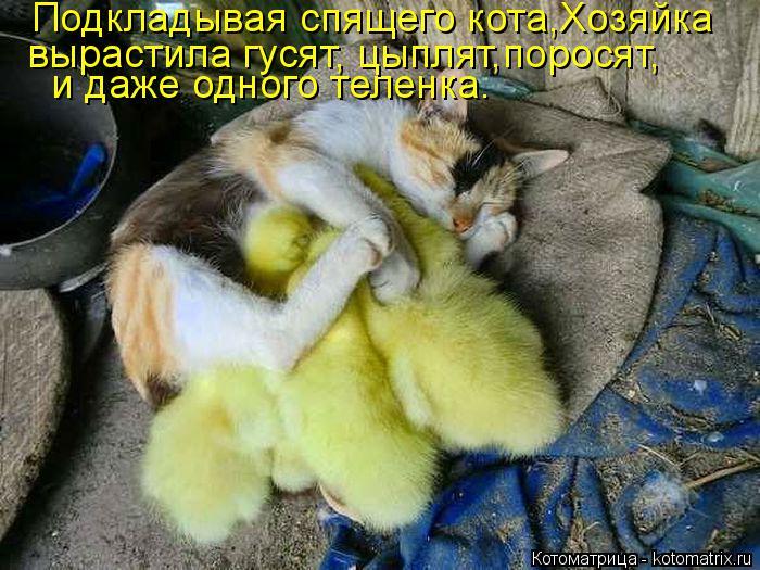 Котоматрица: Подкладывая спящего кота,Хозяйка  и даже одного теленка. вырастила гусят, цыплят,поросят,