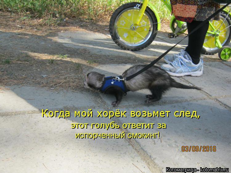 Котоматрица: Когда мой хорёк возьмет след, этот голубь ответит за испорченный смокинг!
