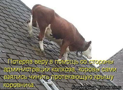 Котоматрица: Потеряв веру в помощь со стороны администрации колхоза, коровы сами взялись чинить протекающую крышу коровника...