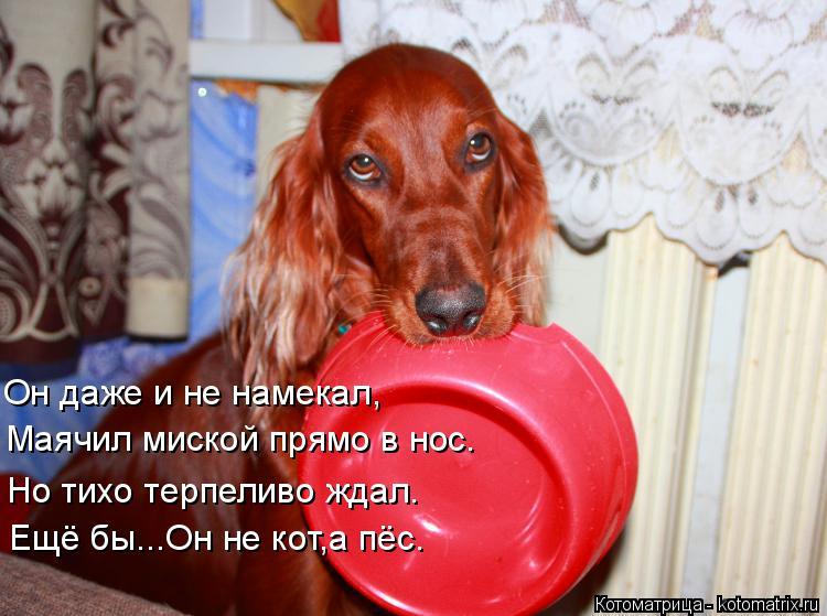Котоматрица: Он даже и не намекал, Маячил миской прямо в нос. Ещё бы...Он не кот,а пёс. Но тихо терпеливо ждал.