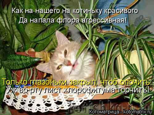Котоматрица: Да напала флора агрессивная! Как на нашего на котиньку красивого Только глазоньки закрыл, чтоб опочить, Уж во рту лист хлорофитума торчитъ!