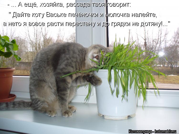"Котоматрица: - ... А ещё, хозяйка, рассада твоя говорит: "" Дайте коту Ваське печёночки и молочка налейте,  а нето я вовсе расти перестану и до грядки не дотян"