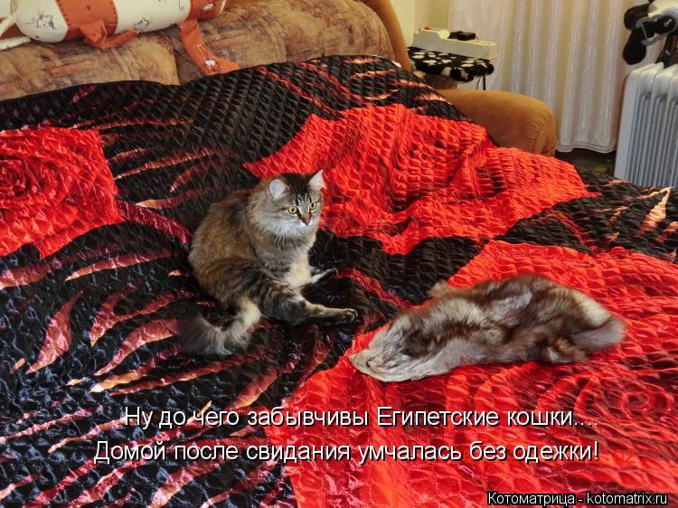 Котоматрица: Ну до чего забывчивы Египетские кошки.... Домой после свидания умчалась без одежки!