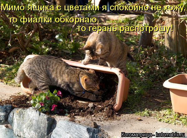 Котоматрица: Мимо ящика с цветами я спокойно не хожу, то фиалки обкорнаю,  то герань распотрошу!