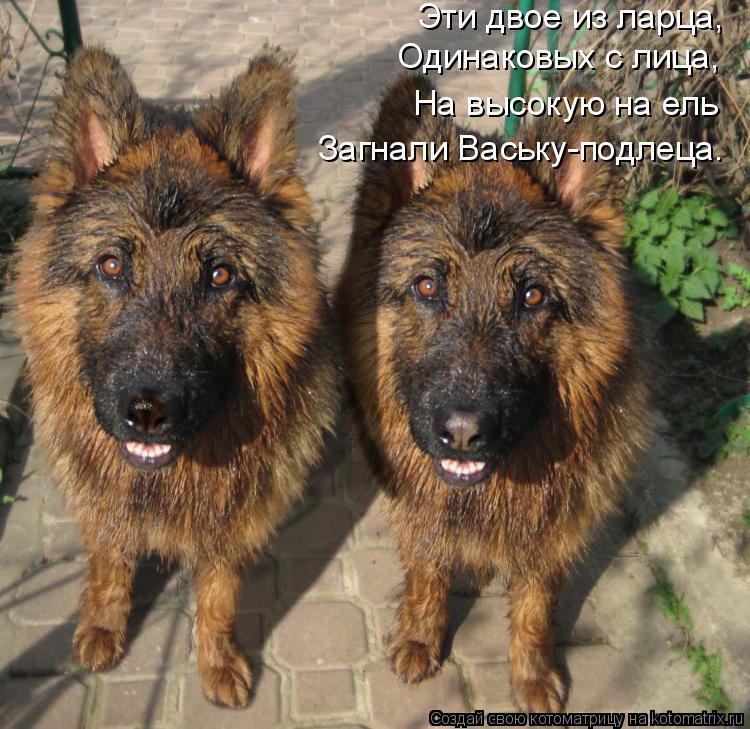 Котоматрица: Эти двое из ларца, Одинаковых с лица, На высокую на ель Загнали Ваську-подлеца.