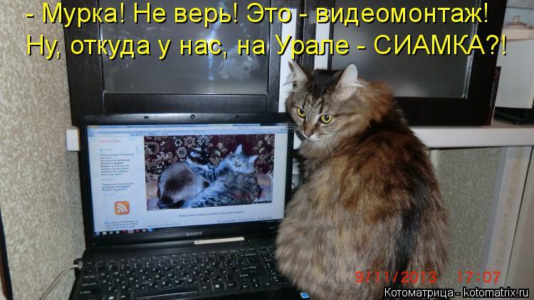 Котоматрица: - Мурка! Не верь! Это - видеомонтаж! Ну, откуда у нас, на Урале - СИАМКА?!