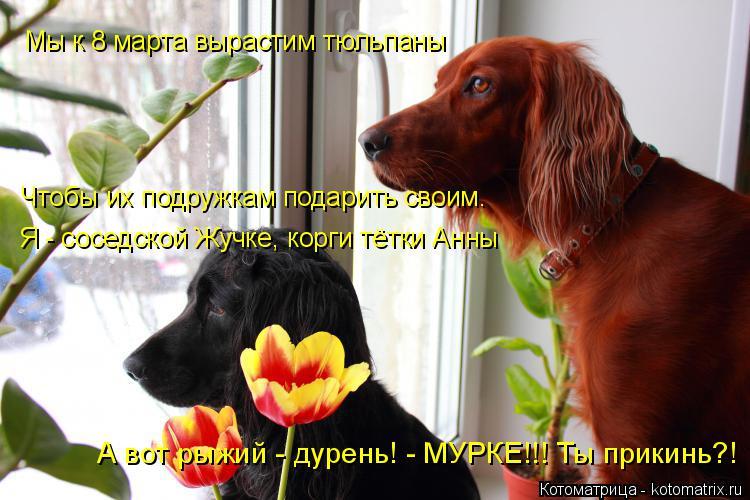 Котоматрица: Мы к 8 марта вырастим тюльпаны Я - соседской Жучке, корги тётки Анны Чтобы их подружкам подарить своим. А вот рыжий - дурень! - МУРКЕ!!! Ты прики