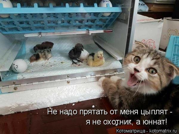 Котоматрица: Не надо прятать от меня цыплят -  я не охотник, а юннат!