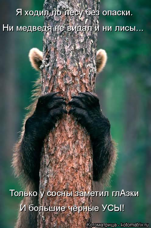 Котоматрица: Я ходил по лесу без опаски. Ни медведя не видал и ни лисы... Только у сосны заметил глАзки И большие чёрные УСЫ!