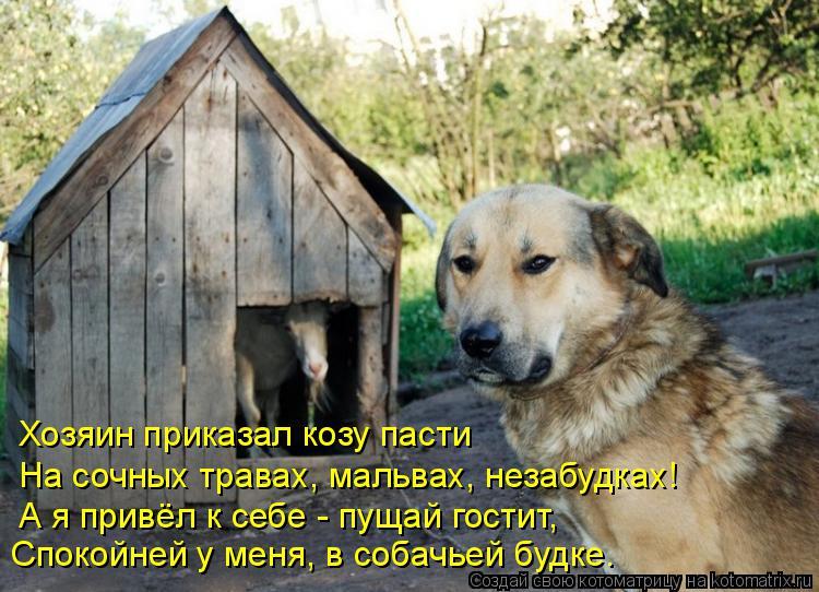 Котоматрица: Спокойней у меня, в собачьей будке. Хозяин приказал козу пасти На сочных травах, мальвах, незабудках! А я привёл к себе - пущай гостит,