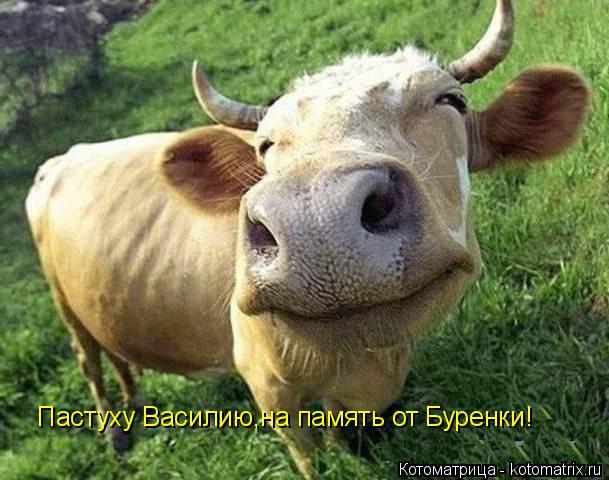 Котоматрица: Пастуху Василию,на память от Буренки!