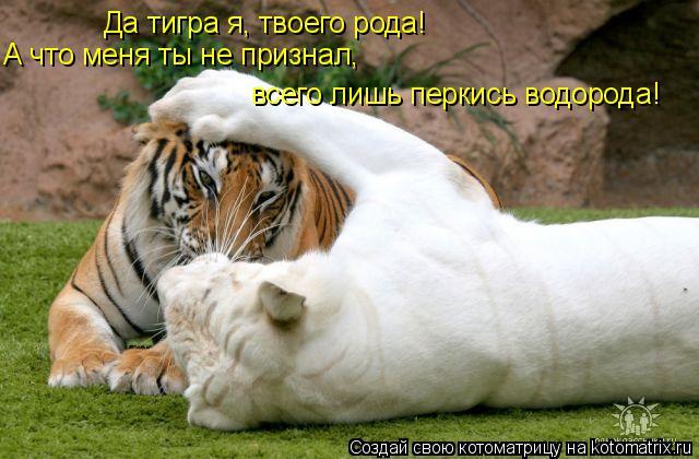 Котоматрица: Да тигра я, твоего рода! А что меня ты не признал, всего лишь перкись водорода!