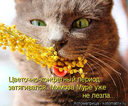 Котоматрица: Цветочно-конфетный период затягивался. Мимоза Муре уже  не лезла...
