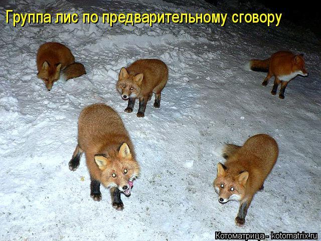 Котоматрица: Группа лис по предварительному сговору