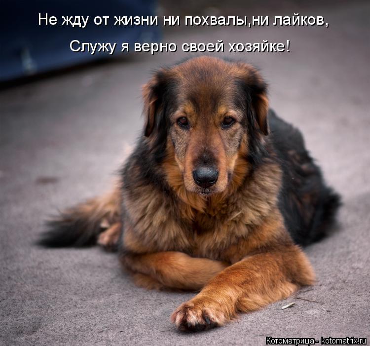 Котоматрица: Не жду от жизни ни похвалы,ни лайков, Служу я верно своей хозяйке!
