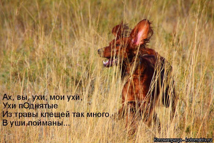Котоматрица: Ах, вы, ухи, мои ухи, Из травы клещей так много Ухи пОднятые В уши пойманы...