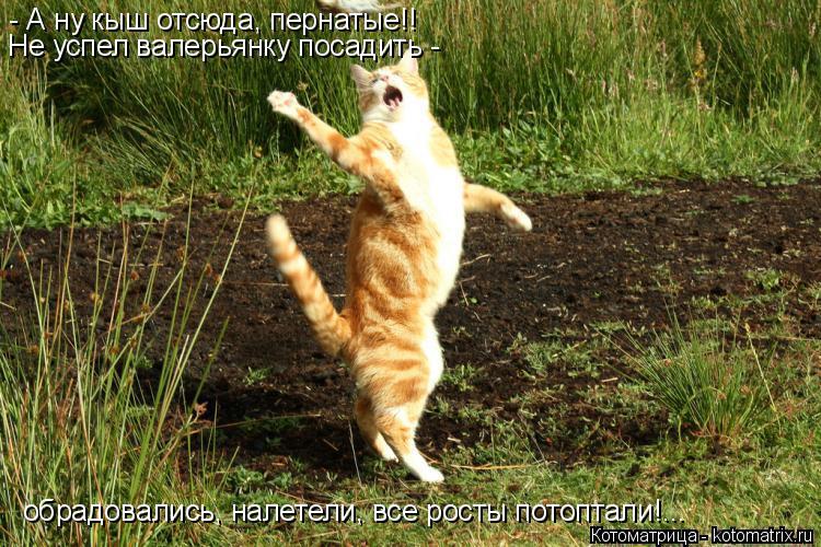 Котоматрица: - А ну кыш отсюда, пернатые!! Не успел валерьянку посадить - обрадовались, налетели, все росты потоптали!...