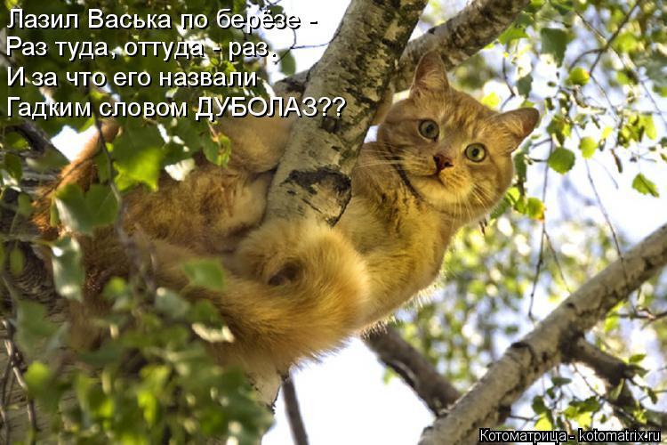 Котоматрица: Лазил Васька по берёзе - Раз туда, оттуда - раз. И за что его назвали Гадким словом ДУБОЛАЗ??