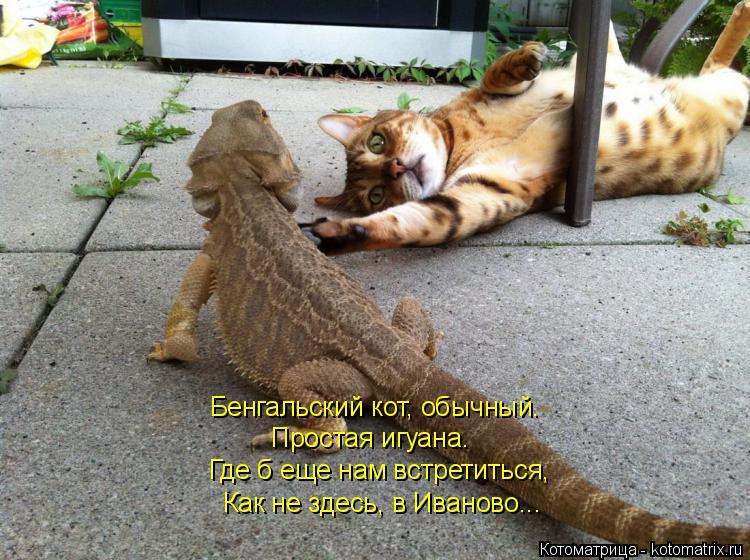 Котоматрица: Бенгальский кот, обычный. Простая игуана. Где б еще нам встретиться, Как не здесь, в Иваново...