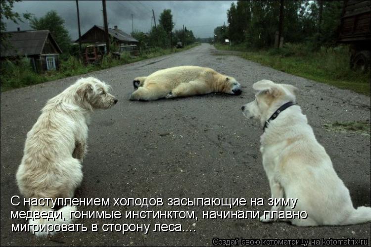 Котоматрица: С наступлением холодов засыпающие на зиму медведи, гонимые инстинктом, начинали плавно мигрировать в сторону леса....