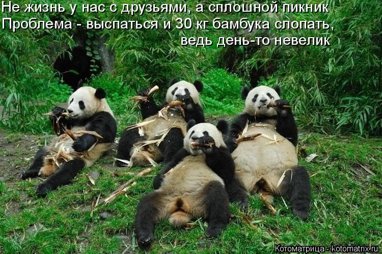 Котоматрица: Не жизнь у нас с друзьями, а сплошной пикник Проблема - выспаться и 30 кг бамбука слопать, ведь день-то невелик