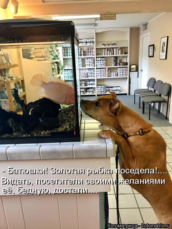 Котоматрица: - Батюшки! Золотая рыбка поседела!.... Видать, посетители своими желаниями её, бедную, достали....