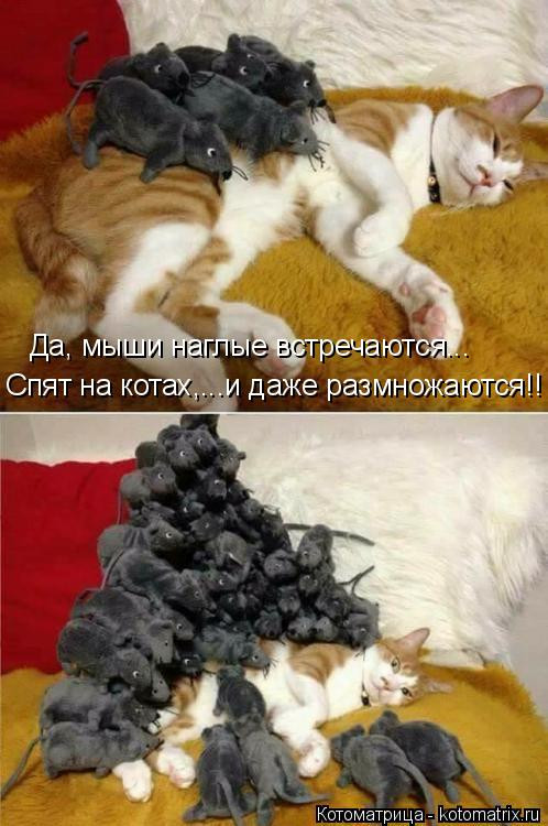 Котоматрица: Да, мыши наглые встречаются... Спят на котах,...и даже размножаются!!