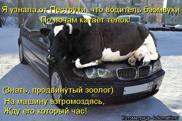 Котоматрица: Я узнала от Пеструхи, что водитель бээмвухи По ночам катает телок! (Знать, продвинутый зоолог) На машину взгромоздясь, Жду его который час!