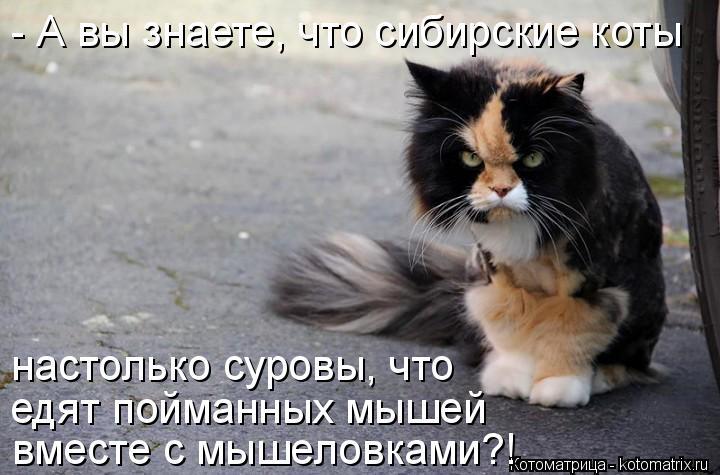 Котоматрица: - А вы знаете, что сибирские коты настолько суровы, что  едят пойманных мышей вместе с мышеловками?!